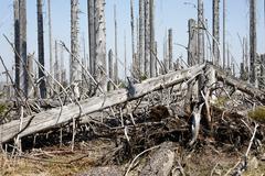 Forest with dead spruces, bayerischer wald national park, lower bavaria, germ Stock Photos