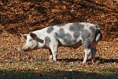 A pig at a forst clearance, rittener mountain, south tyrol, italy Stock Photos