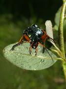 Stock Photo of golden ground beetle (carabus auratus)