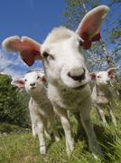 Lamb (ovis gmelini aries) Kuvituskuvat