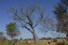 Stock Photo of bottle tree (chorisia insignis) at winter time, gran chaco, paraguay