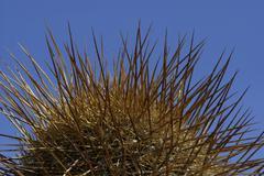 Spines of a caktus (trichocereus pasacana bzw. echinopsis atacamensis) Stock Photos