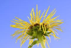 Flower of alant inula helenium compositaceae asteraceae Stock Photos