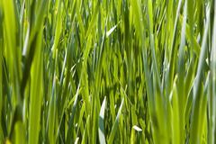 Stock Photo of reed (scirpus)