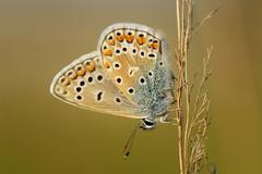 Adonis blue (lysandra bellargus) Stock Photos