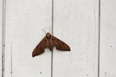 Moth, sungai mahakam, east-kalimantan, borneo, indonesia Stock Photos