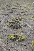 Typical grapevine, resists severe winds, santorini, greece Stock Photos