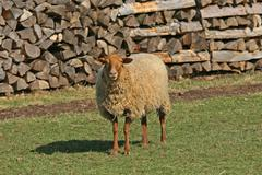 Domestic sheep ovis gmelini aries Stock Photos