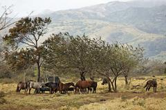 horses, hacienda guachipelin, rincon de la vieja, guanacaste, costa rica - stock photo