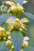yellow archangel (lamiastrum galeobdolon) - stock photo