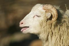 Portrait of a bleating sheep Stock Photos