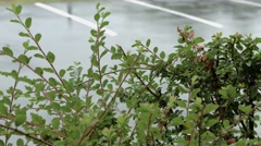 Close Up - Bush in The Rain in Parking Lot Stock Footage