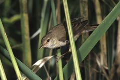 Stock Photo of reed warbler (acrocephalus scirpaceus)
