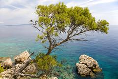 aleppo pine (pinus halepensis), in front of turquoise-blue sea, island hvar,  - stock photo
