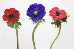 Anemones with water-drops, red and blue Kuvituskuvat