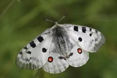 phoebus apollo butterfly (parnassius phoebus) - stock photo