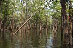 igapo inundated forest area, amazon river basin, brazil - stock photo