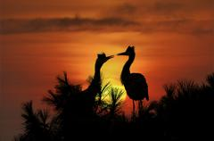 Grey herons in front of a setting sun, ardea cinerea Stock Photos