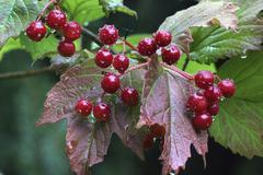 red berries viburnum opulus - stock photo