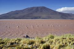 laguna colorada with andean flamingos (phoenicopterus andinus), uyuni highlan - stock photo