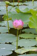 Lotusflower, nelumbo nucifera, thailand Stock Photos