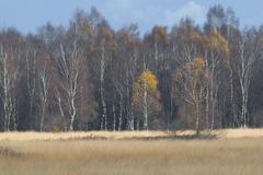 Stock Photo of birch (betula pendula) and moor grass (molinia caerulea), tinner dose, haren,