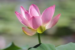 Indian lotus, sacred lotus, bean of india (nelumbo nucifera) Stock Photos