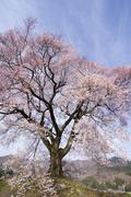 Stock Photo of cherry tree in blossom, nirasaki, yamanashi, japan, asia