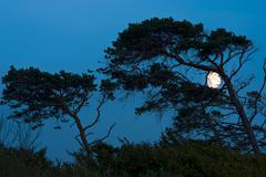 wind-blown trees with the moon, west beach, darss, western pomerania lagoon a - stock photo