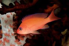 Anthia (anthias sp.), maldives island, indian ocean Stock Photos
