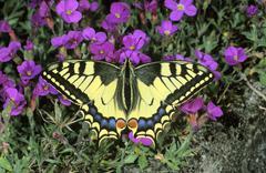 old world swallowtail (papilio machaon) gathering nectar on an aubrieta - stock photo