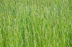 weed sorghum - stock photo