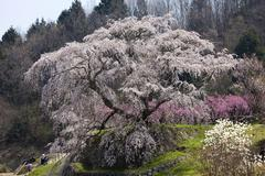 Stock Photo of sakura cheery tree in blossom, uda, nara, japan, asia