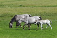 Stock Photo of konik horses (equus przewalskii f. caballus), foal, mare and stallion, tarpan