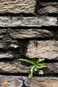 Stock Photo of fern growing on a stonewall