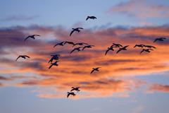 Snow geese (anser caerulescens atlanticus, chen caerulescens) in flight at su Stock Photos