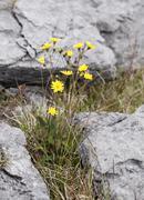 hawkweed (hieracium argillaceum, hieracium lachenalii), burren, county clare, - stock photo
