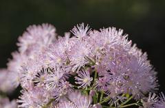 Stock Photo of meadow rue (thalictrum aquilegiifolium), bavaria, germany, europe