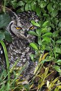 spotted eagle-owl (bubo africanus), western cape, south africa, africa - stock photo