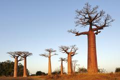 Baobab-alley, grandidier's baobab (adansonia grandidieri) in the morning ligh Stock Photos