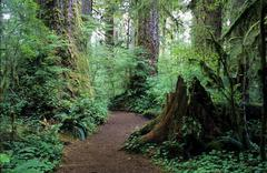 quinault rainforest, washington, usa - stock photo