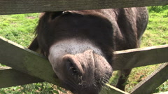 Donkey squeezing head through gate Stock Footage