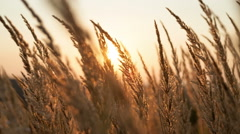Field of grass during sunrise Stock Footage