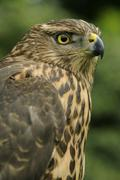 northern goshawk (accipiter gentilis), juvenile - stock photo