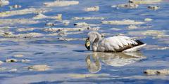 Young puna or james's flamingo (phoenicoparrus jamesi), laguna hedionda, pot Stock Photos