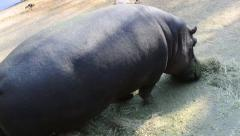 Close Up of Hippo Eating Hay, HD, 1080 Stock Footage
