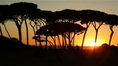 Pinewood trees by seaside silhouetted at sunset Stock Footage