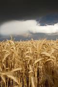 thick storm clouds gathering over a field of rye, bavaria, germany, europe - stock photo