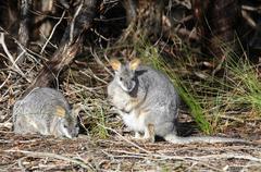 Tammar wallaby, dama wallaby or darma wallaby (macropus eugenii), kangaroo is Kuvituskuvat