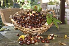 horse chestnuts or conkers (aesculus hippocastanum) with chestnut leaves, see - stock photo